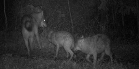 Påvist 86-96 ulver så langt i vinter